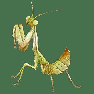 手绘-水彩动物元素贴纸-螳螂