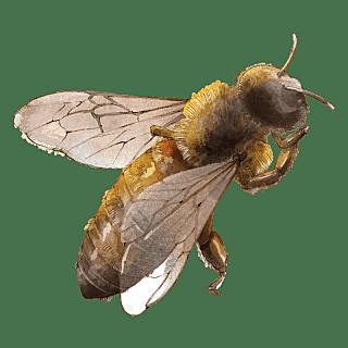 手绘-水彩动物元素贴纸-蜜蜂