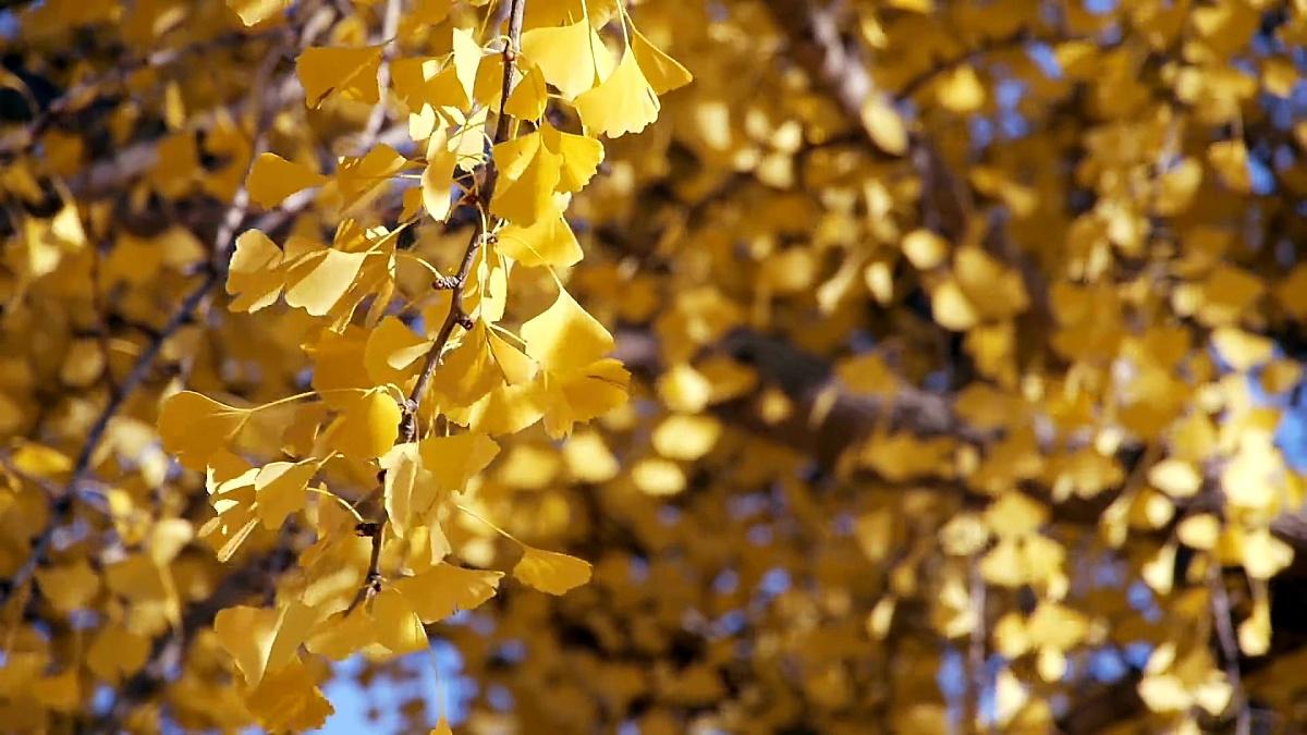 秋天的黄银杏叶在风中摆动