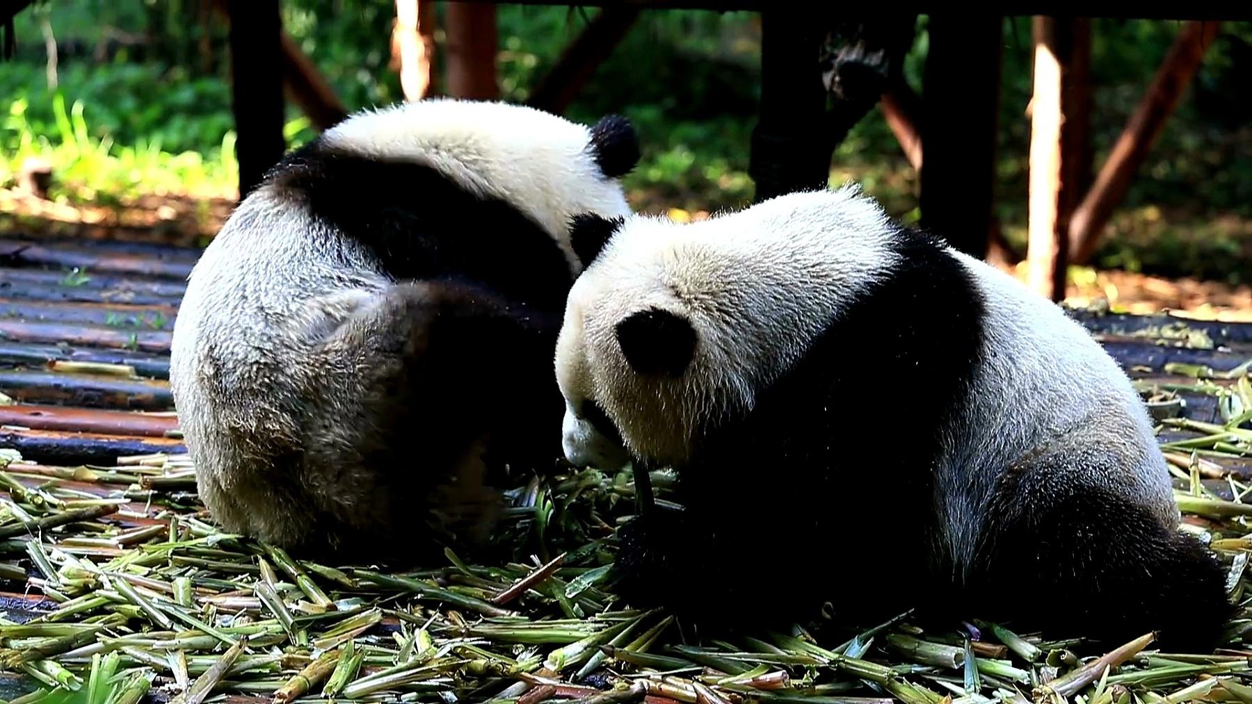 一群大熊猫熊食竹笋