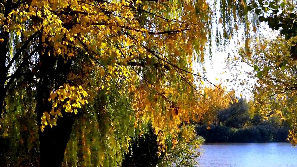 秋天的黄树,树枝上有叶子,在公园里靠河或湖