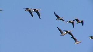 以天空为背景的白额鹅飞翔的鸟群。
