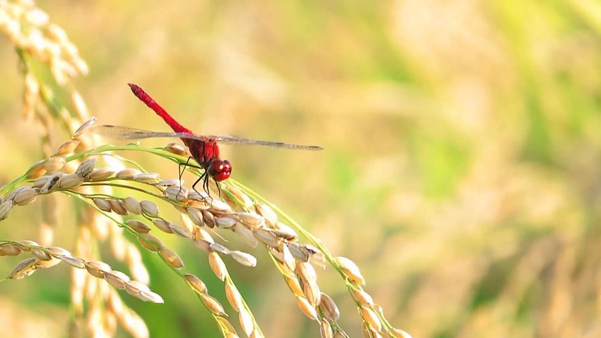 红蜻蜓,秋天,稻穗