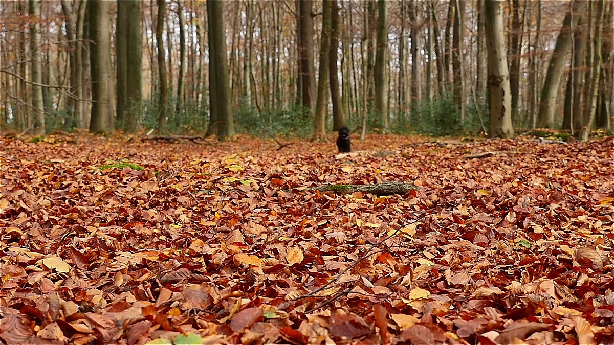小黑狗在秋天的树叶间奔跑