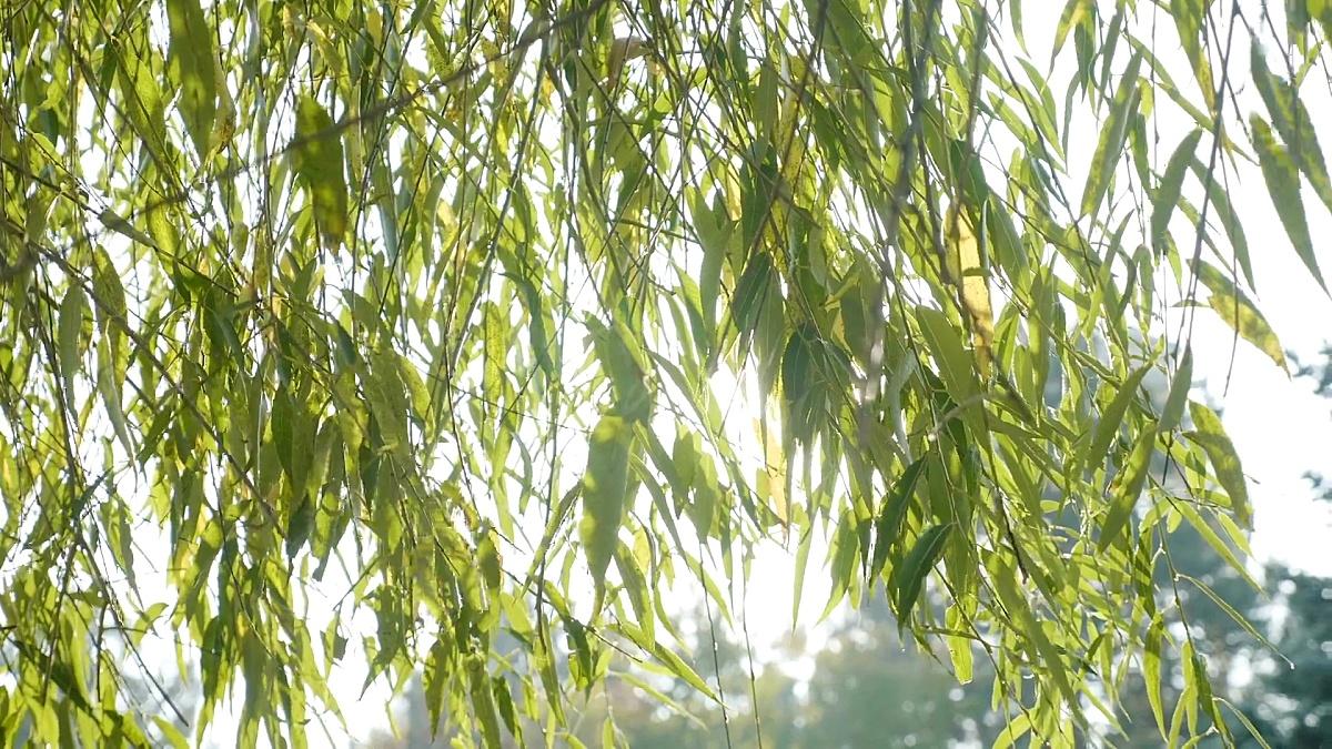 在一个美丽温暖的秋天早晨,灿烂的阳光照射在绿色的柳叶上