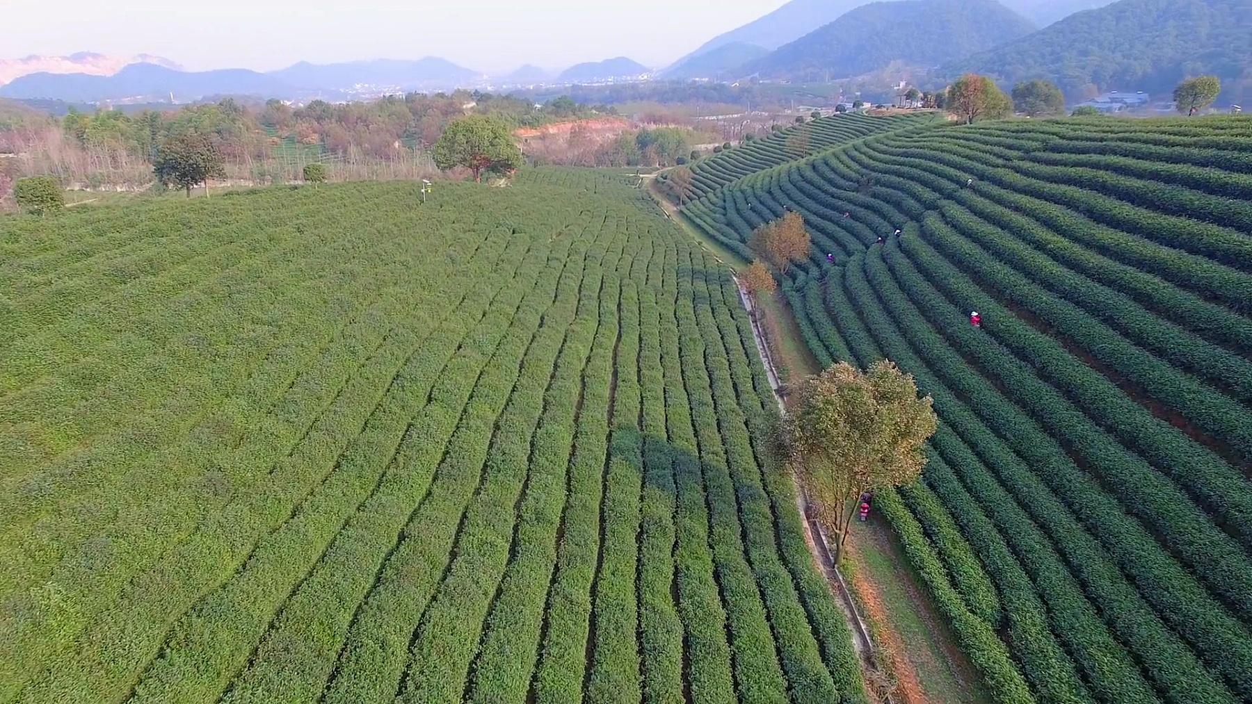 杭州龙井山茶园鸟瞰。
