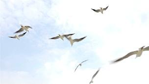 一群海鸥在晴朗的日子里在天空中飞翔,慢动作,从下面观看