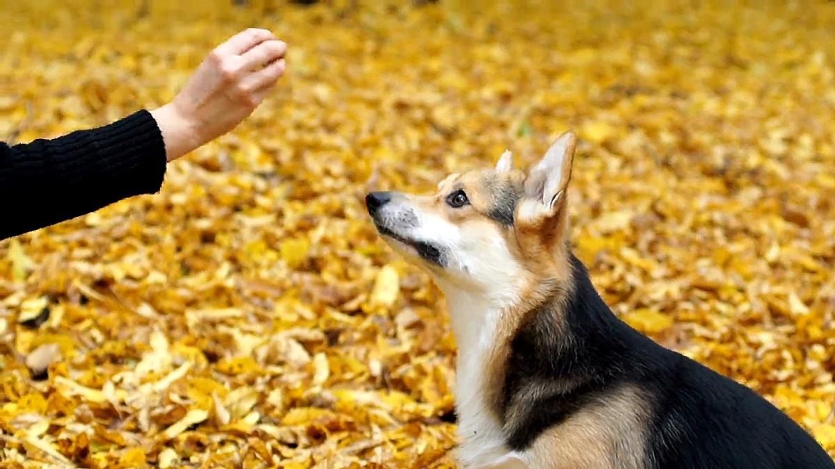 """威尔士柯基·彭布罗克执行""""鼻子上的美味""""命令。一只狗和他的女主人在美丽的秋天森林里散步。"""
