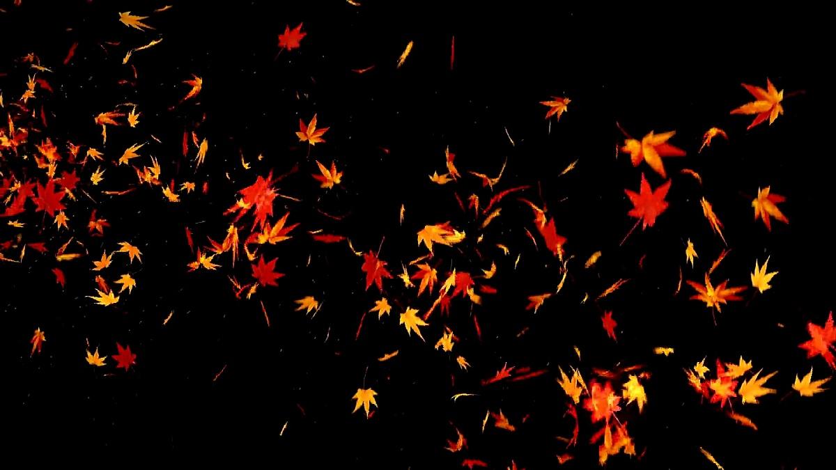 秋天落叶在黑色背景上,枫叶,循环闪光动画,