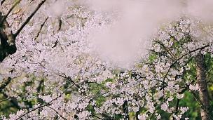 slow motion shot of cherry blossom falling