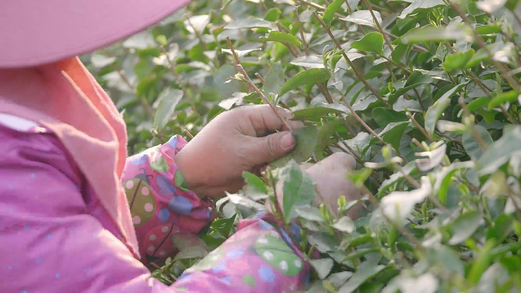 女性采摘茶园绿叶
