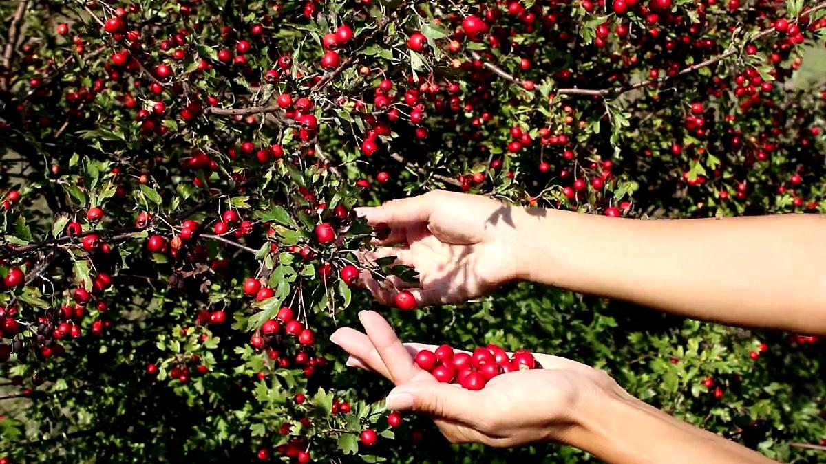年轻女子手在秋天采摘成熟的山楂