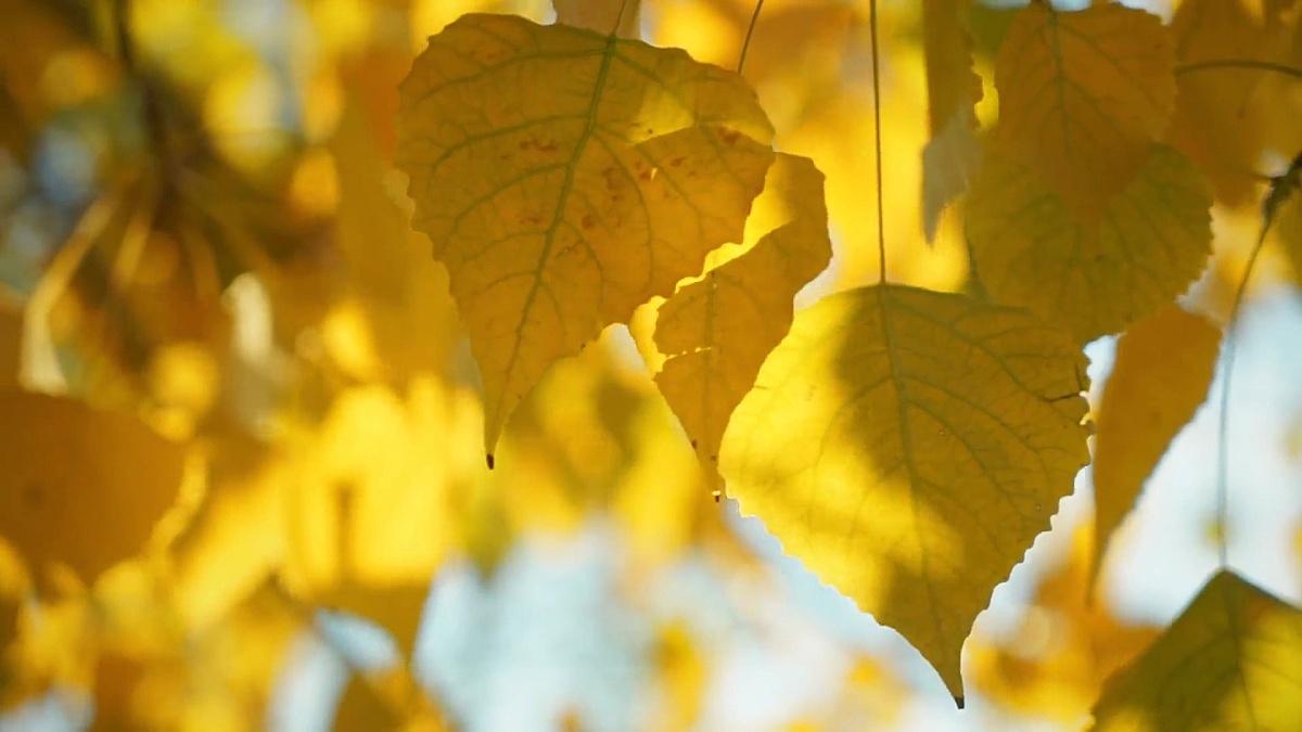 秋天金黄色叶子的质地特写。风吹着树叶。秋天温暖的阳光流过黄叶。基本设计的明亮背景