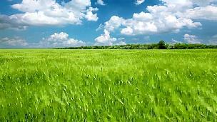 绿色的耳朵和多云的天空